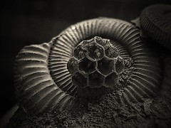 Architecture 101.. (Sea Moon) Tags: fossil shell ammonite waspnest gastropod fossilized paperwasp