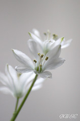 White Squill {HBW} ( B i b b i ) Tags: flowers winter white flower canon vinter flora sweden bokeh www blomma sverige blommor scilla 2009 squill 30d hsselby vit hyacinthaceae canon30d hbw scillatubergeniana sigma70300mmf456apodgmacro scillamischtschenkoana bokehwednesday whisperywhitewednesday