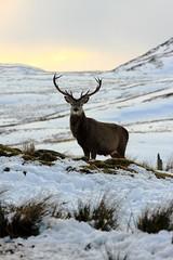 Stag, Loch Killin (BrianReid) Tags: eos scotland stag deer ii 200 l 28 loch ef killin 40d