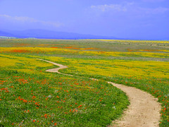 California Wildflowers (Rennett Stowe) Tags: california flowers wild storm united trail american poppy poppies wildflowers states antelopevalley wildflower californiapoppies californiawildflowers antelopevalleypoppyreserve wildflowertrail californiapoppyreserve poppyreserve poppypreserve yellowbrickroad californiastateflower flowersinthewild yellowwildflowers wilddaisies wildpoppy californiapoppypreserve antelopevalleypoppypreserve orangewildflowers fieldsofwildflowers windingtrail northamericanwildflowers actondaisies antelopevalleypoppies meanderingtrail beautifultrail orangeandyellowwildflowers flatlandtrail prarietrail
