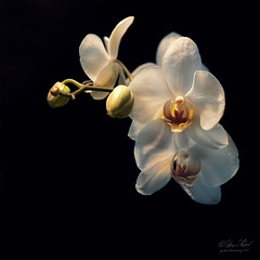 Orchids (fesign) Tags: flowers orchid orchidaceae tropicalflowers angiospermae infinestyle vosplusbellesphotos