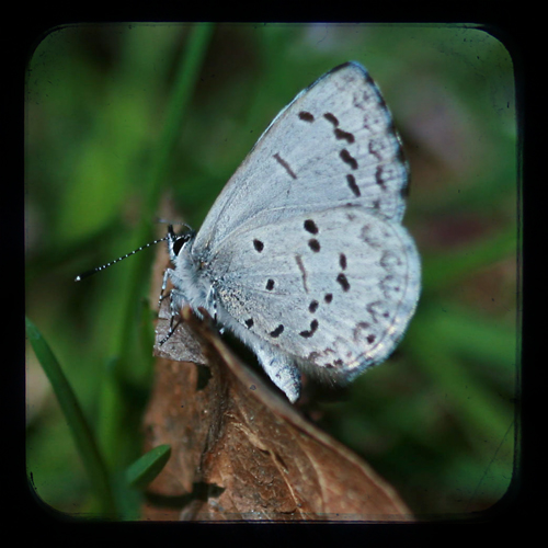 Eastern Tailed Blue-TTV