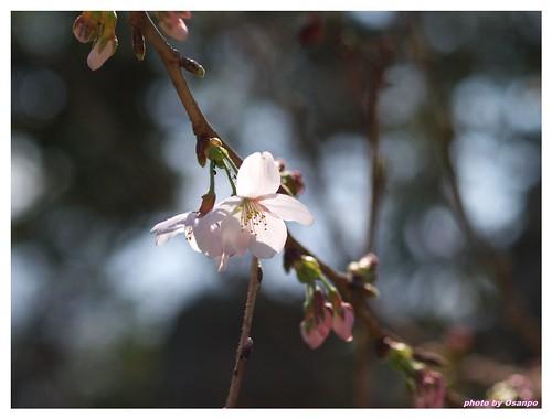 Cherry Blossom 090320