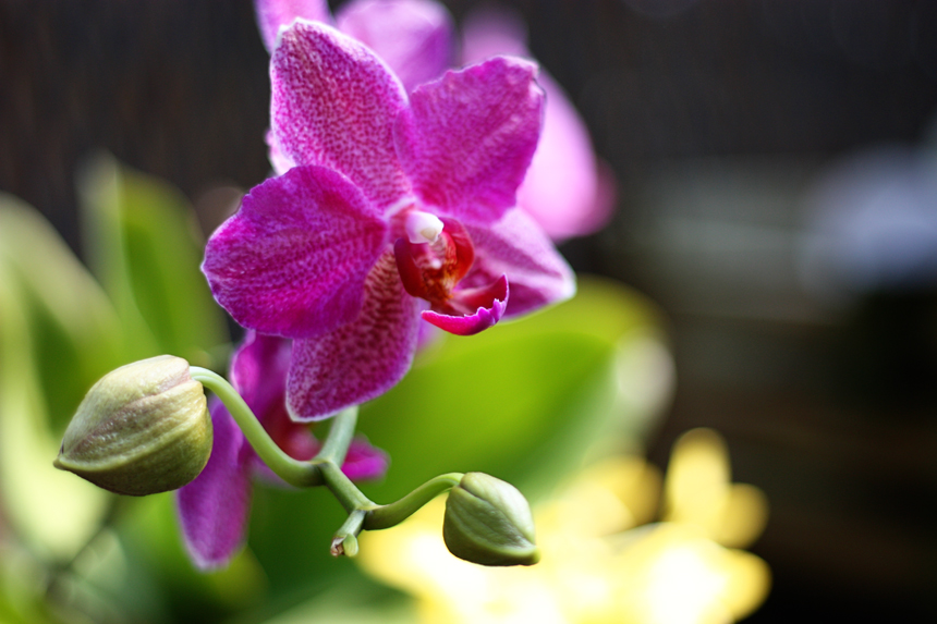 hello, orchid
