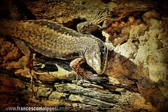 lizard on a texture (FrancescoMalpensi) Tags: macro muro texture animal wall reptile lizard textures lucertola rettile