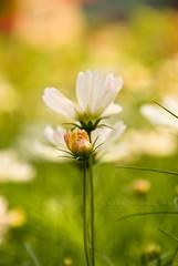 Hay Busy Wednesday (HBW) (jon.noj) Tags: white flower green hongkong dof bokeh 2009 hbw hongkongflowershow nikond80 jonnoj bokehwednesday happybokehwednesday jonbinalay haybusywednesday