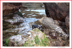 TORO ENTRE MARES. (antonioanvie) Tags: flores mar murcia animales toro margaritas playas rocas pavos fotografias mazarron bolnuevo elleontranquilo