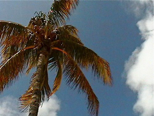 Nassau, Bahamas - Palm Tree