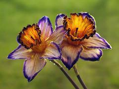 Narcissus (Dragan*) Tags: light sun plant flower macro green nature field grass yellow closeup petals spring dof shine purple serbia daffodil getty belgrade beograd srbija cvet