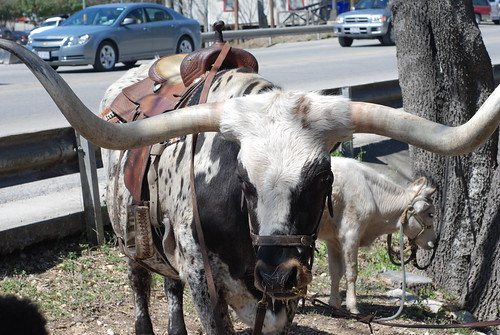 Long Horns in Bandera, Texas by you.