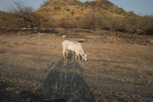Cattle + shadow