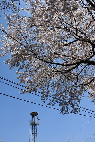 西新井町の火の見櫓:桜