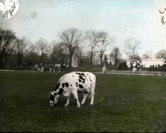 Pauline (DC Public Library Commons) Tags: pet animal cow dc washington whitehouse colorized handcolored taft pauline cowgate damagedphoto dairycow southlawn handcoloredphotographs firstcow ebthompson mooleywooly commons:event=commonground2009
