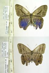Chloreuptychia catharina