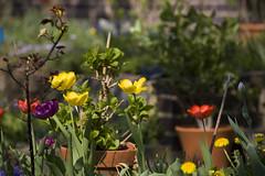 Frhlingsfarben (crosathorian) Tags: blumen garten frhling blten farbenpracht
