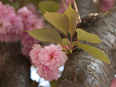 Bruselas XCVI (mgarsan) Tags: bruselas bruxelles brussels e510 uro olympus flower flores primavera spring printemps