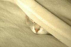 2 only my nose knows (Jen's Photography) Tags: jensphotography nikon d70s beige cat feline pet nose blanket soft home pink portrait harvard illinois fairytale