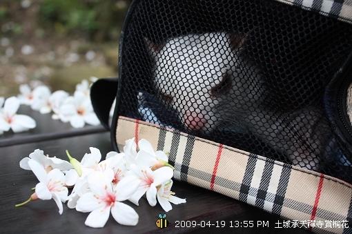 09.04.19小飛鼠Meiz土城賞桐花 (9)