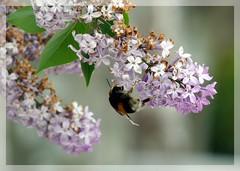 1, 2, 3... (chusa) Tags: flores valladolid lilas sanbernardo abejorro