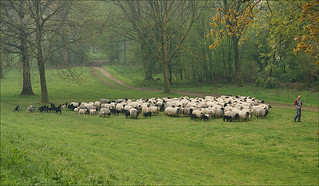 Flock of sheep in the Immerloopark