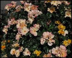 2504_rosesingle