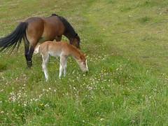 P1120931 (pierrka07) Tags: horses chevaux poulain poneys