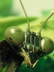 Insight of a mantis (Gaby.Bernstein) Tags: macro green nature closeup bug mantis insect spring gaby wildlife prayingmantis bernstein macroextreme nikonflickraward nikonflickrawardgold winnerbc pollinatornw09 bernsteingaby nationalgeographicnominee gabybernstein