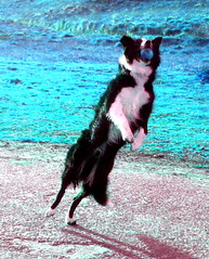 Brodie dance (moymackay) Tags: dogs jumping collie action shots border williamhope