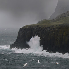 High waves hit coastline of Skye (Bn) Tags: mist fog scotland isleofskye wildlife topf300 topf100 atlanticocean topf200 badweather seabirds janvangent gannet headland stormyweather northerngannet morusbassanus topf400 scottishhighlands whalewatchers pelecaniformes strongwind dolphines yellowhead rockycoastline sulabassana 100faves 200faves neistpoint 300faves stormywind highwaves 400faves theforceofnature moonenbay pointneist kidsflying uppermilovaig rainrainandrain hamerstein travelsofhomerodyssey coastlineofskye flyinggannets lighthouseneistpoint rapidchangesofweather howtokeepyourcameradry furiouswave mostwesternpointofskye nestoncliffsoverlookingocean