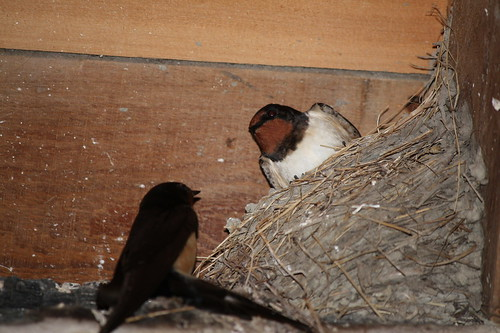 House martins & nest