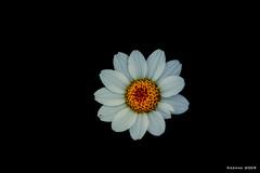 Flower Fantasy (kezwan) Tags: white flower blomma gul vit kezwan 1on1flower