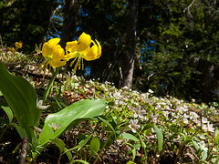Glacier lily and spring beauty