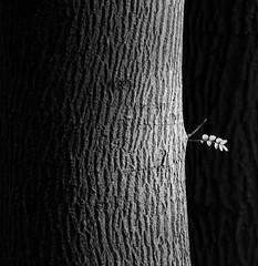 Hoja de vida (RoryO'Bryen) Tags: leaf hoja de vida feuille tree árbol arbre corteza branch trunk tronco cambridge black white canon 5d roryobryen ebonyandivory copyrightroryobryen availablelight scannedfromnegative scanofnegative film rollo película pellicule messsucher 9adamsroad