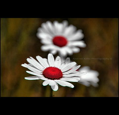 Red Daisy Buttons (Andrea Kollo Photography) Tags: flowers toronto ontario canada flower macro nature gardens daisies garden cards interestingness nikon dof bokeh depthoffield explore daisy wildflowers gta wildflower greetingcard frontpage horticulture floralprint macrophoto naturephotography greetingcards macrophotography artprint flowerart natureart gardentour floralprints nikond200 yorkregion eventphotography ontariophotographer nobleton macrophotograph flowercards kingtownship naturephotographs nikonphotography nikonphoto natureprints bokehphotography flowerartcards bokehphoto bokehphotographs floralgreetingcards floralartprint floralartprints flowerartprint flowerartprints floralgreetingcard andreakolloontariophotographer natureartprints copyrightandreakollo estategardenphotography gardentourphotography communtyprofiles communityprofilephotography wwwandreakollophotography natureflowerphotographs floralartcards horticultureprints horticultureprint horticulturegreetingcard nobletonkingtownship kingtownshipgardens nobletongardens