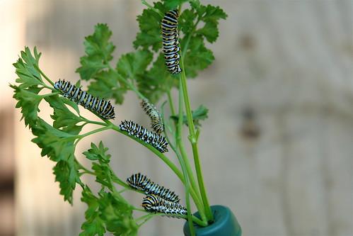 Black Swallowtail Cats