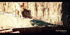 Hybrids Matching Dance (:: バレン マオ VISUAL ARTIST ::) Tags: cat colombia reptile gato iguana reptil hybrids hibrido casanare yopal canons5is mauriciovalenzuela matchingdance dazadeapareamiento