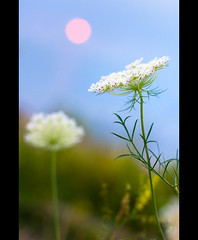 Queen Anne's Lace at Sunset (Pat Kilkenny) Tags: sunset ohio sun canon bokeh lace august shore 2009 daucuscarota genevaonthelake wildcarrot canon40d patkilkenny alsoknownintheukasbirdsnest