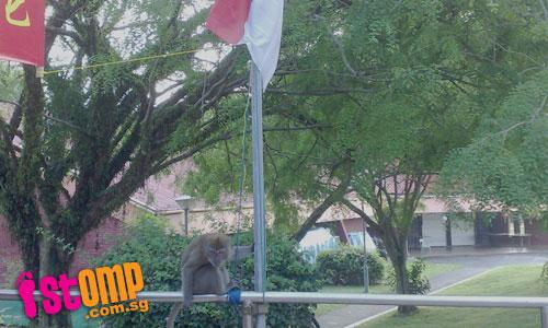 Is this monkey raising our national flag?