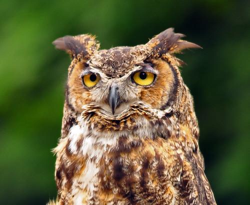 フリー画像| 動物写真| 鳥類| 猛禽類| 梟/フクロウ|       フリー素材|