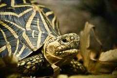 Tortoise, Australia