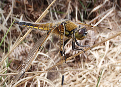Four-spotted Chaser -  Libellula quadrimaculata (Chris_Moody) Tags: england insect four dragonfly heath dorset spotted winged animalia arthropoda chaser libellula odonata libellulidae insecta anisoptera fourspottedchaser libellulaquadrimaculata quadrimaculata taxonomy:class=insecta taxonomy:kingdom=animalia taxonomy:order=odonata taxonomy:suborder=anisoptera taxonomy:family=libellulidae taxonomy:genus=libellula taxonomy:phylum=arthropoda taxonomy:common=fourspottedchaser taxonomy:binomial=libellulaquadrimaculata taxonomy:species=quadrimaculata
