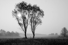 stand together (mfellnerphoto) Tags: morning trees bw mist nature nebel natur wiesen sw bume morgen blackwhitephotos landkreisdachau