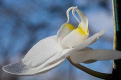Indulge (pearmon) Tags: flowers plant orchid nature petals pfogold pfosilver