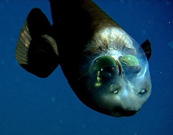 pez cabeza transparente Macropinna microstoma