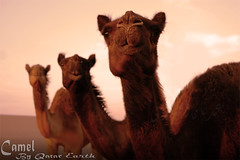 Qatar Earth Three pure omani camels in the inland       -  (Qatar Earth  ) Tags: three earth inland pure camels qatar omani