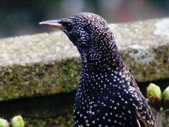 Starling Aware (Warphobbler-Kaz) Tags: winter cold bird garden tits feeding cymru windy endangered watcher birdwatcher wildbirds stalings bbcwalesnature