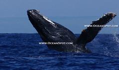 2009 maui whale watching 37 (oceanspot) Tags: maui whale humpbackwhale whalewatching megapteranovaeangliae oceanlife cetacean mauihawaii whalebreach humpbackwhalebreach oceanspot