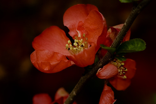 Flowers of early spring - quince