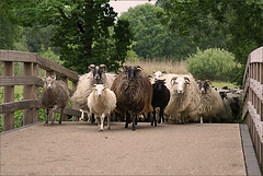 Flock of sheep coming in (Foto Martien) Tags: holland wool netherlands dutch sheep shepherd arnhem nederland lamb herd sheeps lam schapen wol gelderland schaap herder betuwe flockofsheep schaapskudde immerloopark arnhemzuid sonyalpha100 immerloo immerlooplas martienuiterweerd