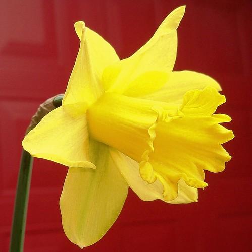 First daffodil 2009